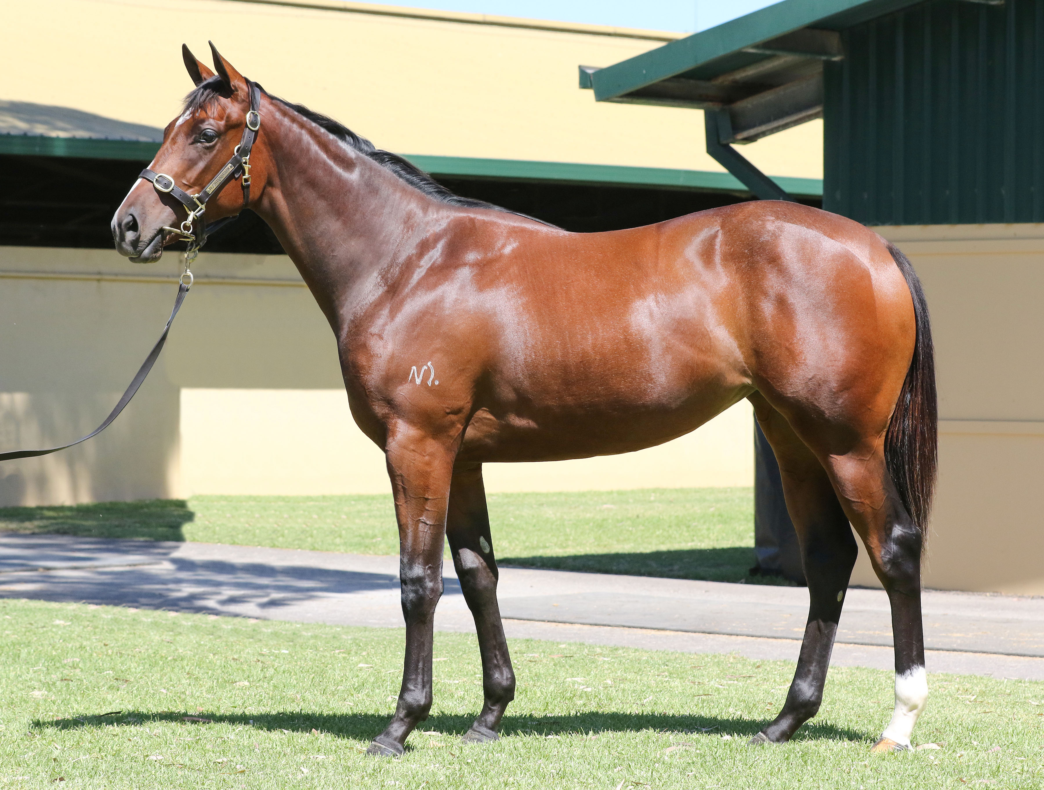Lot 18,Dundeel x Orthodoxia_10-03-2020_GEN_MM Adelaide Yearling Sale__1033
